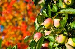Manzanas salvajes y hojas de otoño Fotografía de archivo libre de regalías