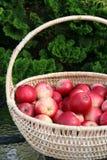 Manzanas suecas - James Grieve - en cesta Imágenes de archivo libres de regalías