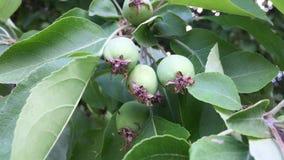 Manzanas verdes almacen de video