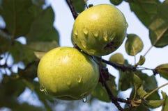 Manzanas verdes con las gotitas de agua en manzano Foto de archivo libre de regalías