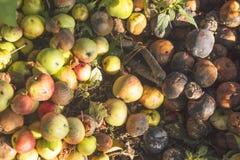 Manzanas verdes de Autumn Organic Fruit Harvest Very, amarillas y rojas putrefactas Imagen de archivo