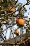 Manzanas verdes en árbol foto de archivo
