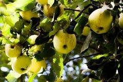 Manzanas verdes en árbol Imagenes de archivo