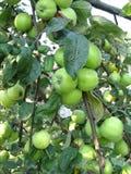 Manzanas verdes en árbol fotos de archivo libres de regalías