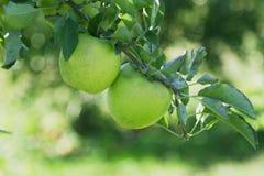 Manzanas verdes en el árbol Foto de archivo libre de regalías