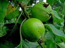 Manzanas verdes en el appletree Foto de archivo libre de regalías