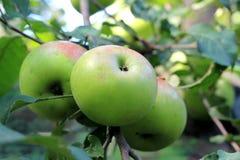 Manzanas verdes en la ramificación de árbol Fotografía de archivo libre de regalías