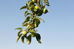 Manzanas verdes en rama contra el cielo azul imagenes de archivo