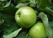 Manzanas verdes en un árbol Fotos de archivo libres de regalías