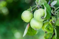 Manzanas verdes en una rama imágenes de archivo libres de regalías
