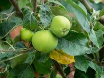 Manzanas verdes en una rama Fotografía de archivo libre de regalías