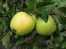 Manzanas verdes en una ramificación Fotografía de archivo libre de regalías