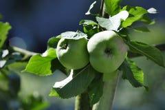 Manzanas verdes maduras en árbol Imagen de archivo