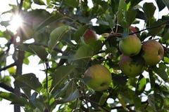 Manzanas verdes maduras en árbol Imagenes de archivo