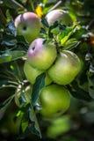 Manzanas verdes naturales en una rama Fotografía de archivo libre de regalías