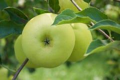 Manzanas verdes que crecen en un manzano Imagen de archivo libre de regalías