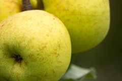 Manzanas verdes que crecen en un manzano Foto de archivo libre de regalías