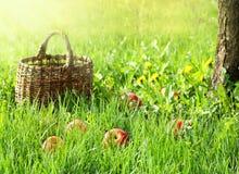 Manzanas y cesta del jardín en hierba verde Foto de archivo