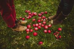 Manzanas y pares rojos de las piernas Imagen de archivo libre de regalías