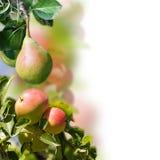 Manzanas y peras. Imágenes de archivo libres de regalías