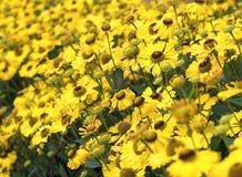 Manzanilla amarilla Imagenes de archivo
