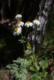 Manzanilla bastante pequeña de las flores blancas del cinerariifolium del pelitre Repelente de insectos orgánico Imagen de archivo libre de regalías