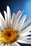 Manzanilla blanca Fotos de archivo libres de regalías