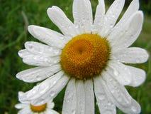Manzanilla blanca Fotografía de archivo