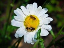 Manzanilla blanca con las abejas Foto de archivo libre de regalías