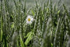 Manzanilla blanca en campo entre ears_ del trigo imagen de archivo libre de regalías