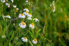 Manzanilla blanca en el campo entre la hierba verde Space_ de la copia imagenes de archivo