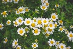 Manzanilla blanca en un fondo verde Texture_ de las margaritas blancas foto de archivo libre de regalías