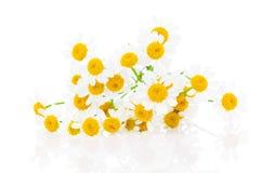 Manzanilla de la flor Imagenes de archivo