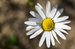 Manzanilla de la flor del verano Imágenes de archivo libres de regalías