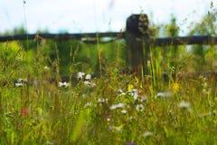 Manzanilla del prado Fotos de archivo libres de regalías