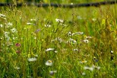 Manzanilla del prado Imagen de archivo libre de regalías