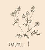 Manzanilla dibujada mano Ejemplo del vector de la manzanilla médica de la hierba Elemento del diseño de empaquetado Fotos de archivo libres de regalías