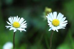 Manzanilla dos en un prado en fondo borroso Imagen de archivo libre de regalías