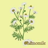 Manzanilla Ejemplo de una planta en un vector con la flor para u stock de ilustración