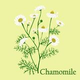 Manzanilla Ejemplo de una planta en un vector con la flor para u Foto de archivo libre de regalías