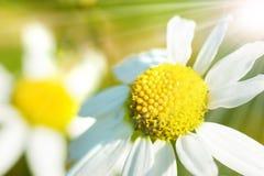 Manzanilla en el sol de la primavera Fotografía de archivo libre de regalías