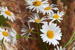 Manzanilla en hierba marrón Imagen de archivo