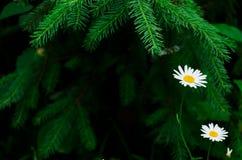 Manzanilla en ramas de árbol Imagen de archivo