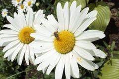 Manzanilla en un macizo de flores, abeja del jardín en una flor Imágenes de archivo libres de regalías
