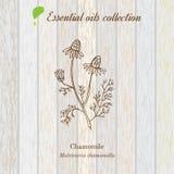 Manzanilla, etiqueta del aceite esencial, planta aromática Imágenes de archivo libres de regalías