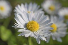 Manzanilla - flores blancas de la margarita Foto de archivo libre de regalías