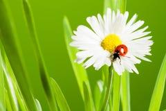 Manzanilla hermosa con el ladybug Imágenes de archivo libres de regalías