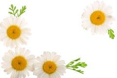 Manzanilla o margaritas con las hojas aisladas en el fondo blanco con el espacio de la copia para su texto Visión superior Endech Fotografía de archivo
