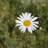 Manzanilla salvaje blanca en un primer del tronco Fotos de archivo