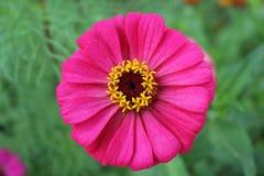 Manzanilla varietal de la élite de la flor imágenes de archivo libres de regalías